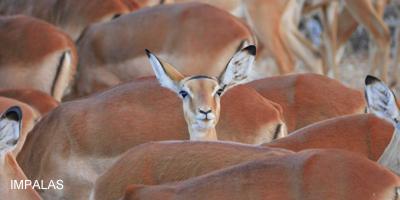 1imagen-impalas