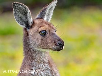 imagen-australia-canguro