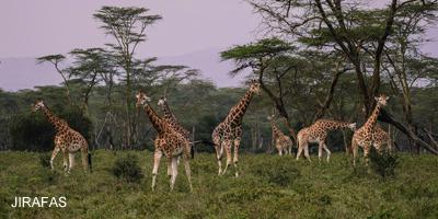 imagen-jirafas