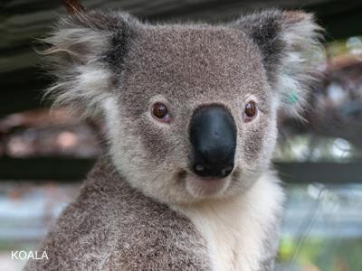 imagen-koala