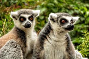 miniatura-imagen-lemures-madagascar
