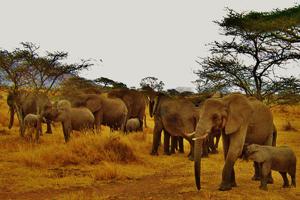 miniatura-imagen-tanzania-elefantes